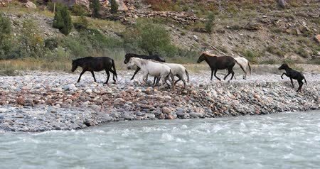 severe : Horses in Himalaya Ladakh region of northern India walk along mountain river