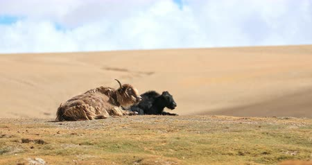 tibeti : Two himalayan yaks resting on hill top of highland valley in Ladakh. Quiet and silent beauty of remote places in northern India