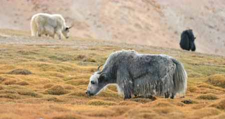 tibeti : Himalayan Yaks grazing on meadow in mountain valley. Domestic animals in rural areas of Himalaya in Ladakh, northern India Stock mozgókép