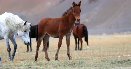 pasto : Young playful foal runs on Himalaya valley to its herd on free grazing pasture in Ladakh highland of northern India near Korzok village and Tso Moriri lake. Unique travel destination Stock Footage