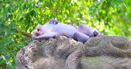 macaca fascicularis : Ubud mankey forest scene. Sleepy asian macaque male takes a nap on sculpture of ancient indonesian temple