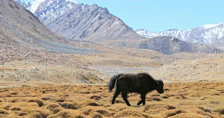 tibeti : Baby Yak grazing on grass valley of Himalaya mountain. Beautiful wild nature landscape video background