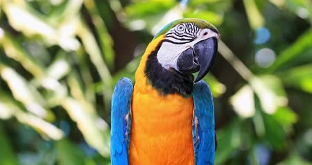 brazil : Parrot on green tropical background with exotic plants and sunshine. Colorful Macaw with blue and yellow vibrant plumage looks in camera in jungle forest Stock mozgókép