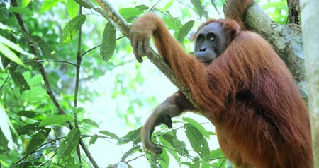 extinct species : Wild orangutan among tree leaves and branches of tropical forest in Sumatra, Indonesia