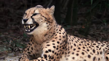 gepard : Cheetah looks at camera and yawns showing big sharp fangs