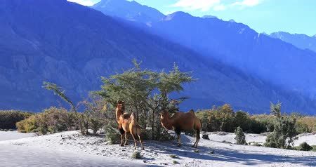 hory : Beautiful nature of high altitude desert, Ladakh, Himalaya. Camels on sand dunes