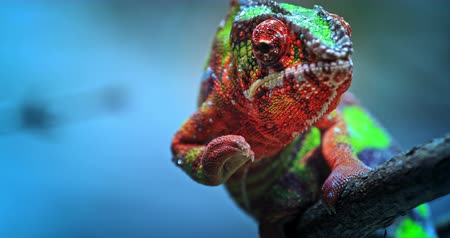 detay : Chameleon exotic reptile and beautiful tropical lizard with vivid and colorful skin crawling slowly on tree branch toward camera Stok Video