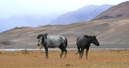himalaia : Domestic animals in Ladakh, India. Horses on highland pasture near Himalaya mountain lake