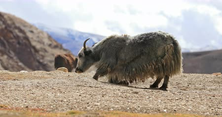 tibeti : Himalayan yak in highlands of Ladakh in northern India surrounded by snow mountains and high valleys of Himalaya range