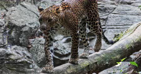 panthers : Spotted Jaguar walks inside jungle forest on fallen tree trunk. Wild panther slow motion video Stock Footage