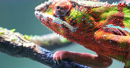madagaskar : Close up macro view of detailed skin texture of colorful chameleon lizard
