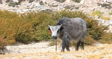 himalayan : Cute baby yak with grey fur in highlands of Himalaya mountains in Ladakh, northern India