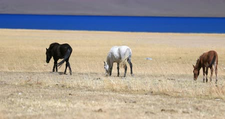 planalto : Highland plateau steppe of Himalaya. Horses in Ladakh, India