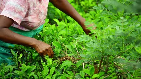 шри : Scene of harvesting tea with female farmer on rural field in Sri Lanka