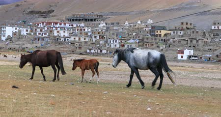 tay : Korzok village in Ladakh, Himalaya, India. Horses walk near Tso Morriri area