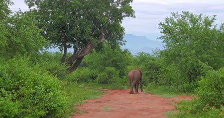 yırtıcı hayvan : Sri Lanka wildlife nature landscape. Elephant in Yala park Stok Video