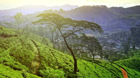 tea plantation : Panoramic view of tea plantation in rural Sri Lanka with mountains and green hills on horizon Stock Footage