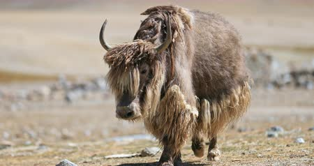 tibeti : Big beautiful wild yak with brown thick long fur walks toward camera in wilderness of Himalaya mountains in northern India. Traveling to Tibet and Ladakh video background Stock mozgókép