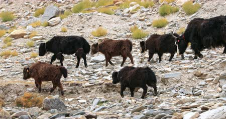 tibeti : Herd of domestic Yaks walk along rocky mountain hill in Himalaya. Rural agriculture in remote areas of Northern India in Ladakh