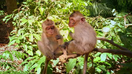 macaca fascicularis : Monkey friends on tree branch in Ubud forest park. Traveling to Bali, Indonesia Stock Footage