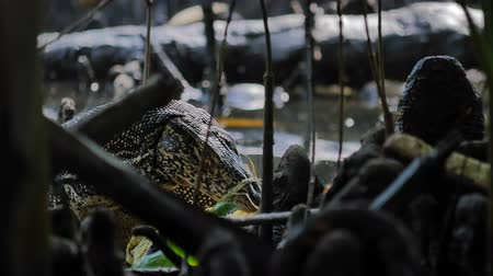 konzervace : Pollution in wild enviroment and animals habitat. Water monitor lizard digging in garbage and human waste litter dumped in nature ecosystem. Mangrove forest in Sri Lanka