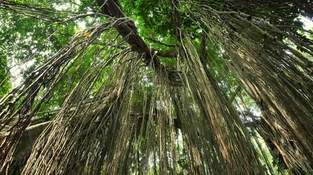 ficus : Amazing tropical ficus tree Banyan in wilderness of tropical jungle forest. Many hanging roots of exotic plant growing in Thailand rainforest Stock Footage