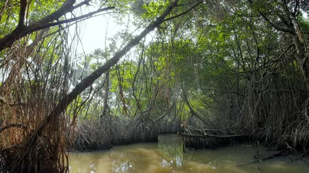 gyertyafa : Evergreen jungle forest nature background. Scenic beauty of mangrove forest ecosystem. Natural wilderness reserve protection and conservation landscape Stock mozgókép