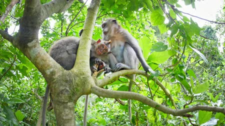 macaca fascicularis : Wild monkeys in forest. Green jungle of Bali, Indonesia