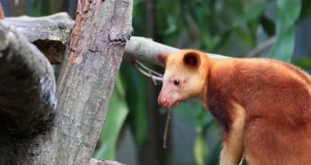 kožešinový : Goodfellow Tree-Kangaroo in canopy of rainforest in Papua New Guinea. Exotic animal of tropical forest