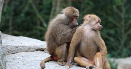 baboon : Male Baboon monkey cleans female family member grooming her fur and extracting fleas Stock Footage
