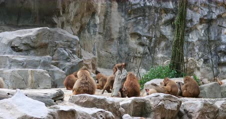 troop : Family group of monkeys on rocks with young babies playing and jumping around. Hamadryas Baboons troop