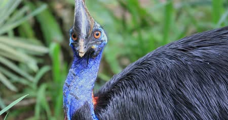 horned : Cassowary Southern large wild exotic bird in jungle forest natural habitat Stock Footage