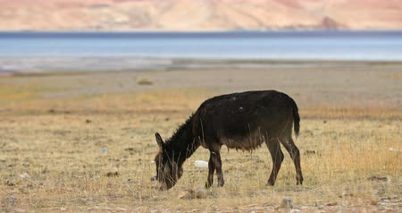 himalaia : Donkey pasturing near Tso Moriri lake, Korzok village, Ladakh. Agriculture in India north Stock Footage
