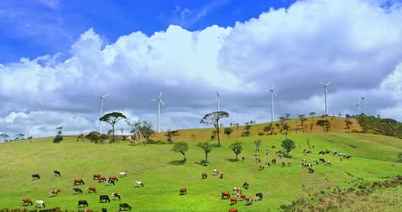 malom : Dairy cows graze on green hills of summer pasture. Wind turbines generate energy