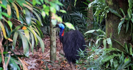 원시적 인 : Cassowary bird walks into lush jungle forest. Wild animals of rainforest in Australia