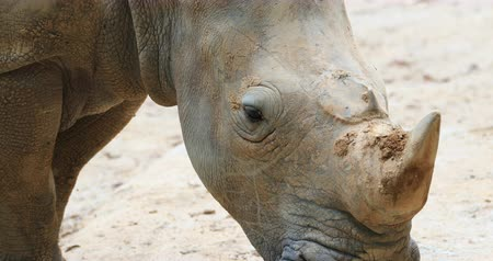 white rhino : White Rhino with horn close up portrait in outdoor nature environment Stock Footage