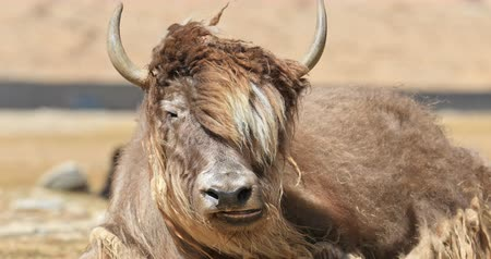 tibeti : Portrait of Himalayan Yak. Livestock and traditional cattle farms of Ladakh agriculture