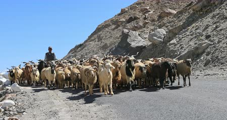 himalaia : Ladakh countryside scene of shepherd pasturing large flock of pashmina goats and sheep on mountain road in Himalaya