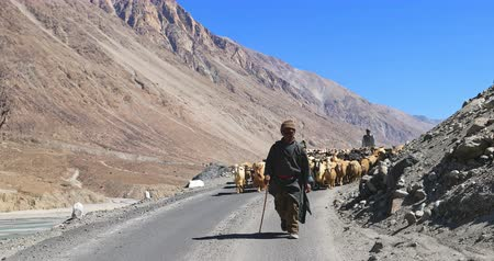 zelândia : Local shepherd walks in front of large flock of goats and sheep in rural Himalaya region of northern India. Mountain landscape and blue sky on background