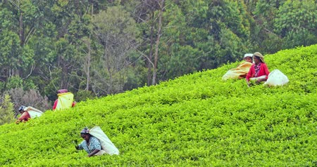indian tea : Countryside agriculture in Sri Lanka. Local workers picking tea leaves