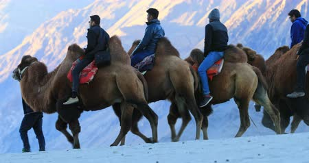 seyahat : Ladakh India Camel safari tours and trips on Hunder sand dunes, HImalaya mountains, north country region Stok Video