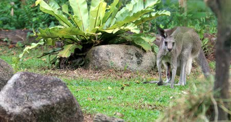 Kangaroo native australian animal on green lawn Stok Video