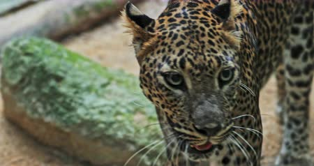 леопард : Spotted leopard in tropical forest. Panther walks in dense vegetation