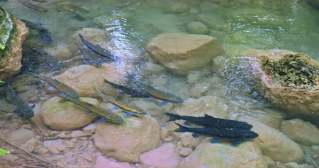 Fresh water fish in clean transparent river stream