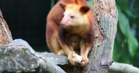Fauna of Papua New Guinea, Goodfellow Tree Kangaroo on tree branch 影像素材