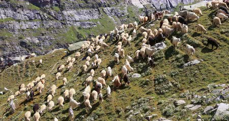 Pashmina goats and sheep pasturing in high mountains of Ladakh. Rural agriculture of north India