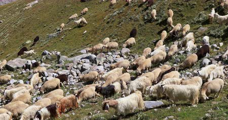 sezon : Himalayan high altitude farming. Domestic sheep and pashmina goats on slopes of high mountains in Ladakh, India