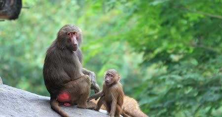 Baby Hamadryas Baboon monkey interacting with adult family member on rock near bush forest in Kenya national park