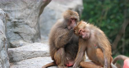 Two monkeys clean each other in wild of Kenya national park