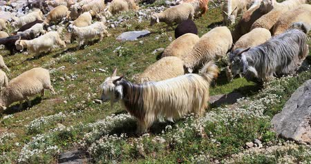 Goats and Sheep in Kashmir, north India
